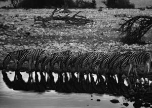 Zebras bebem água em parque africano -  Amazonas Images (divulgação) Sebastião Salgado